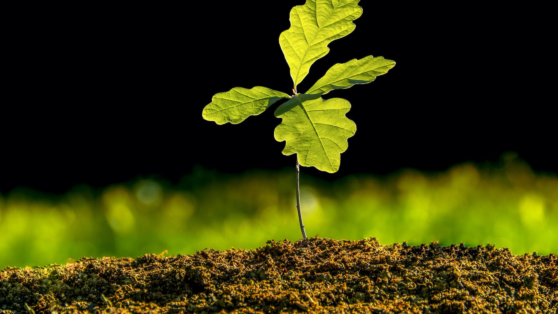 Small oak plant in the garden. Tree oak planted in the soil substrate. Seedlings or plants illuminated by the side light. Highly lighted oak leaves with dark background and green grass.